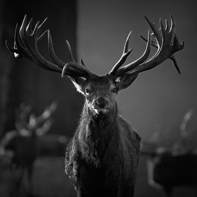 """Red Deer Sentinel"" stock image"