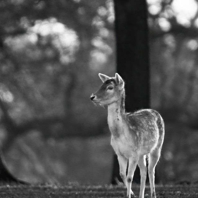 """Fallow Deer Calf"" stock image"