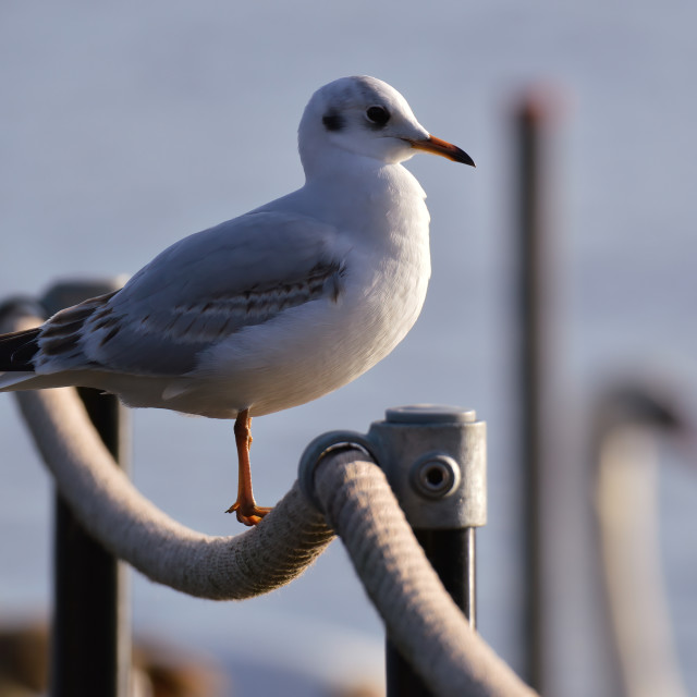 """Seagull perched on a rope at the seaside"" stock image"