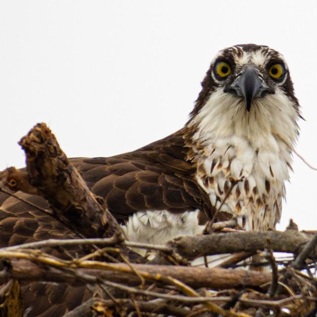 """Osprey in her nest"" stock image"