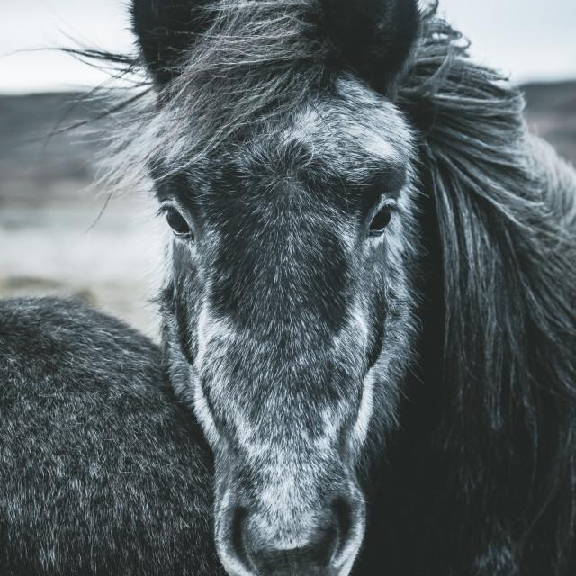 """THE ICELANDIC HORSE"" stock image"