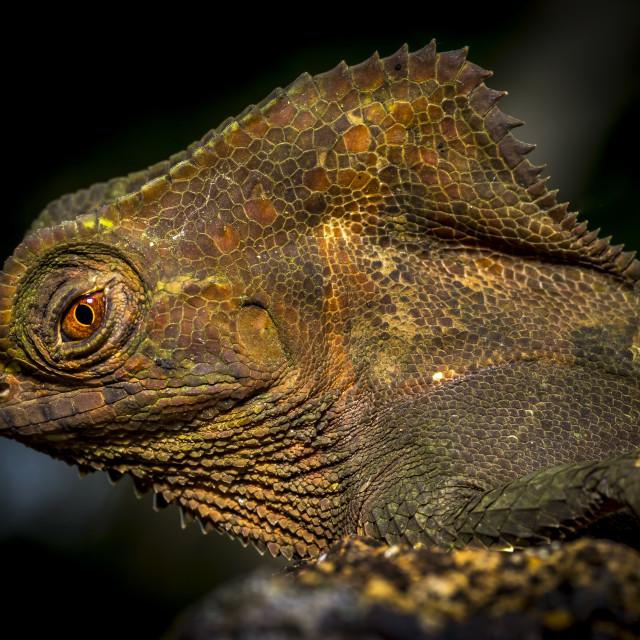 """""""Casque headed Lizard - Corytophanes cristatus"""" stock image"""