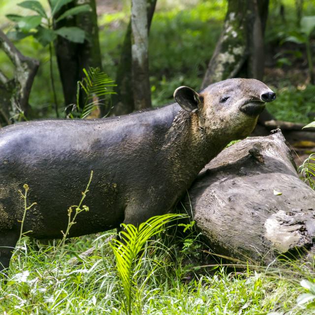 """""""Baird's tapir (Tapirus bairdii)"""" stock image"""
