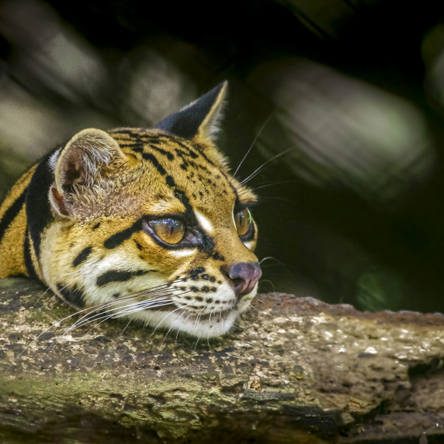 """""""Ocelot head looking over a tree branch"""" stock image"""