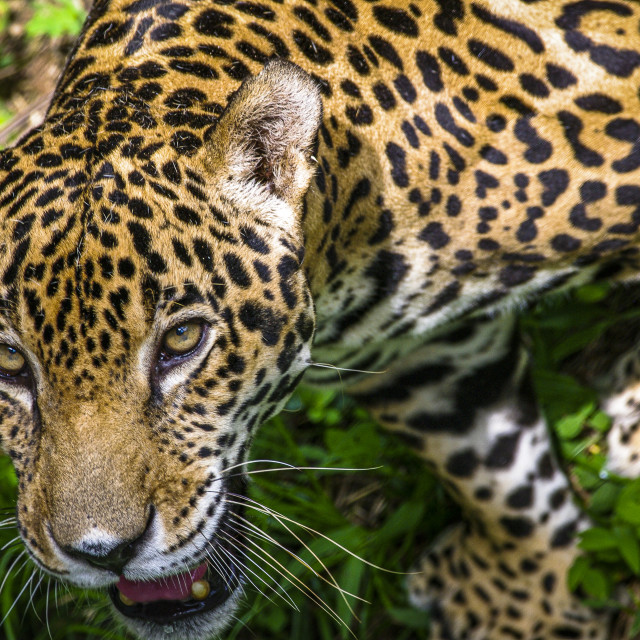 """Hunting Jaguar approaching close up"" stock image"