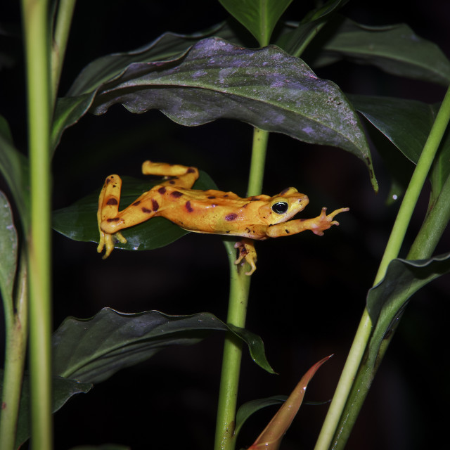 """""""Golden frog from El Valle in Panama"""" stock image"""