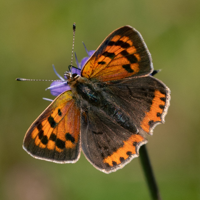 """""""Small copper butterfly"""" stock image"""