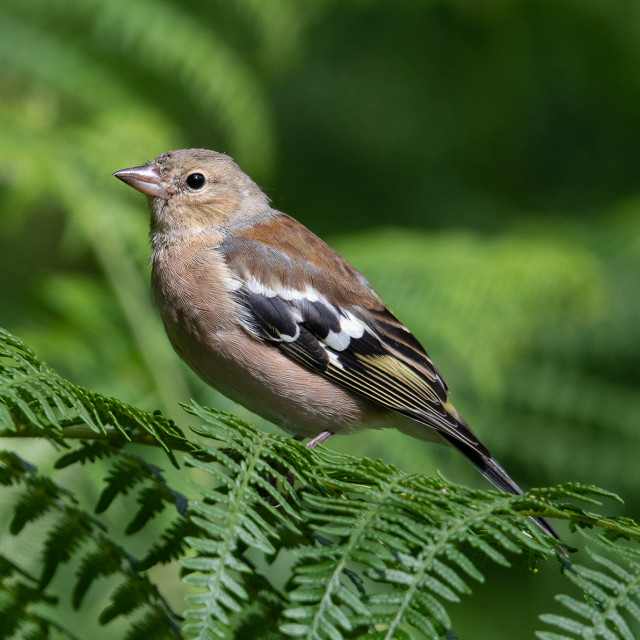 """""""Female chaffinch on ferns"""" stock image"""