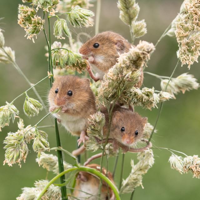 """Harvest mice"" stock image"