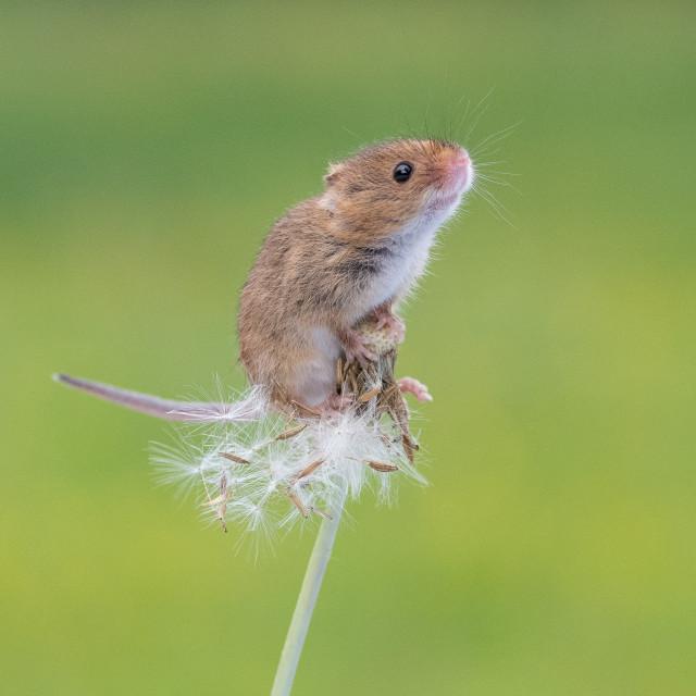 """""""Harvest mouse on dandelion"""" stock image"""