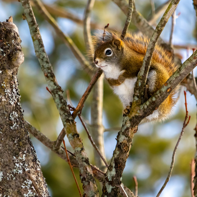 """""""American Red Squirrel Sitting in a Forest Tree"""" stock image"""
