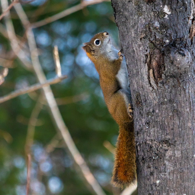 """""""American Red Squirrel Climbing a Tree in the Woods"""" stock image"""
