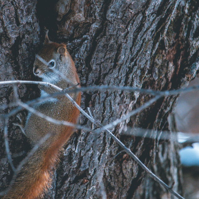 """""""Cute Squirrel Looks Back as it Clings to a Tree"""" stock image"""