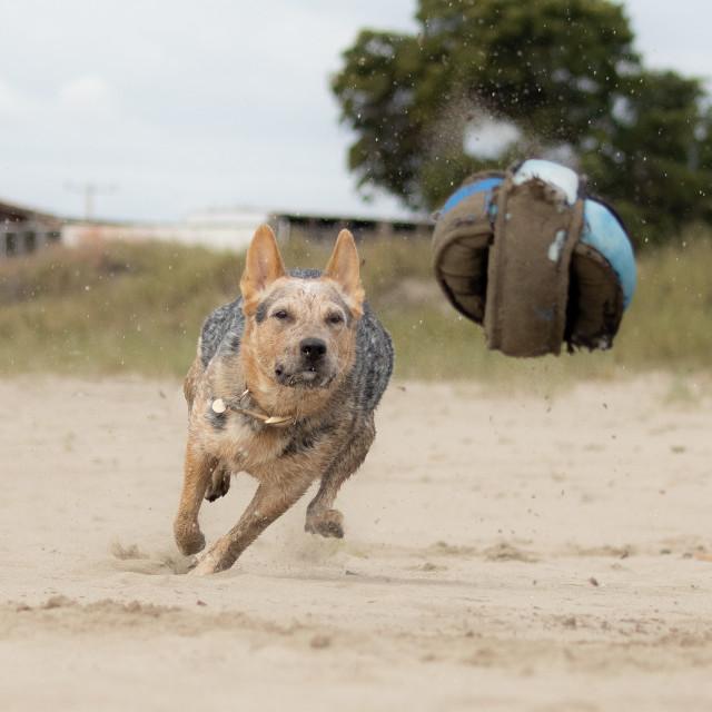 """""""Australian Cattle Dog on the run"""" stock image"""