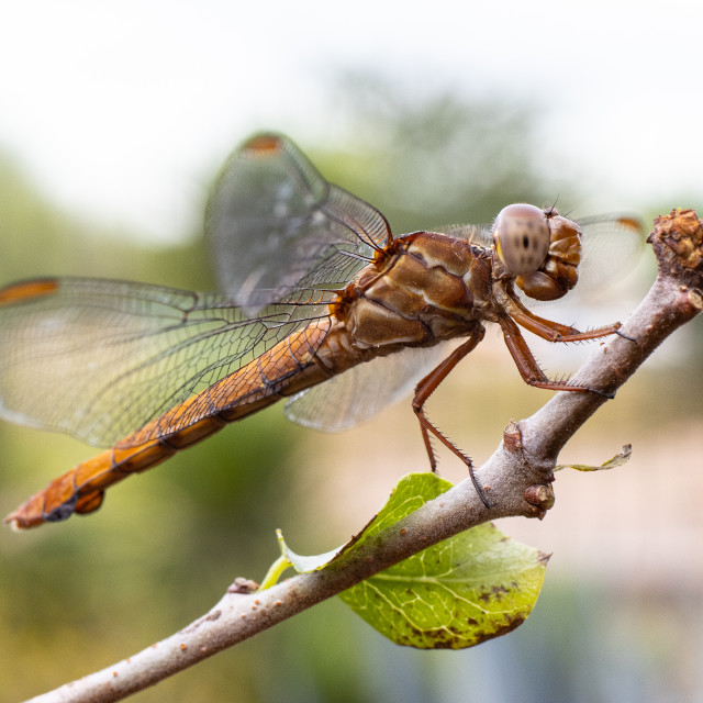 """""""dragonfly on a tree"""" stock image"""