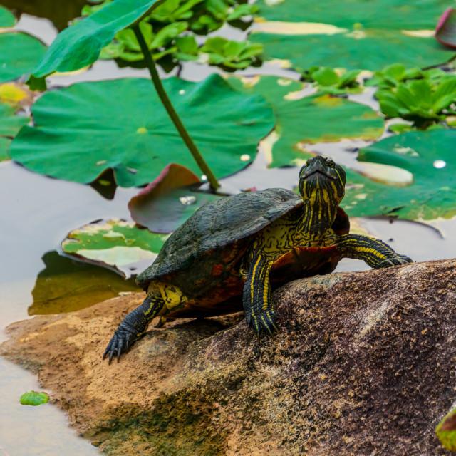 """Smiling Turtle, SIngapore"" stock image"