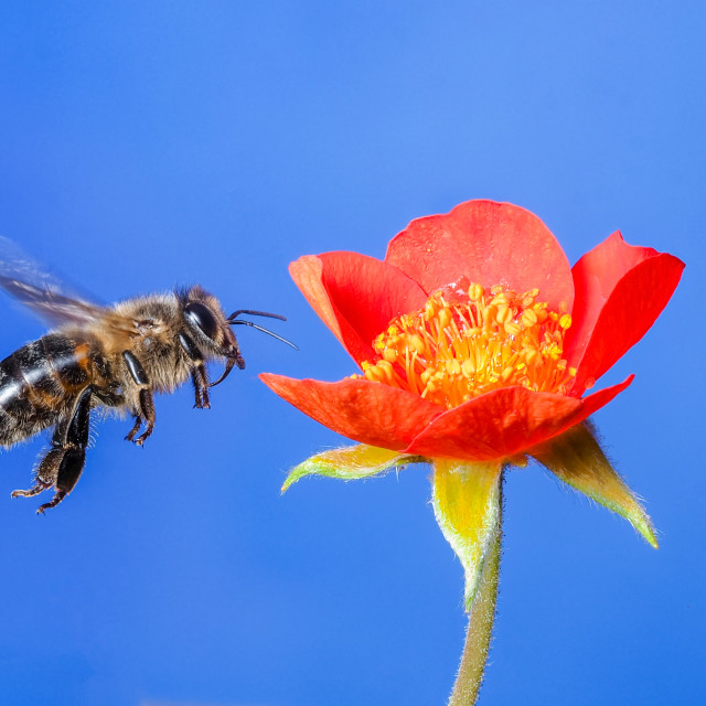 """Honey bee no 4"" stock image"