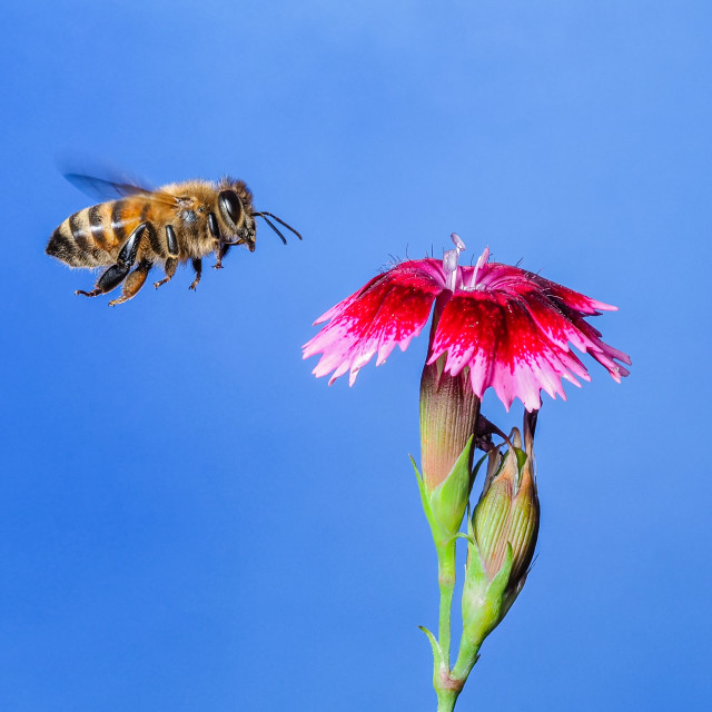 """Honey bee no 2"" stock image"