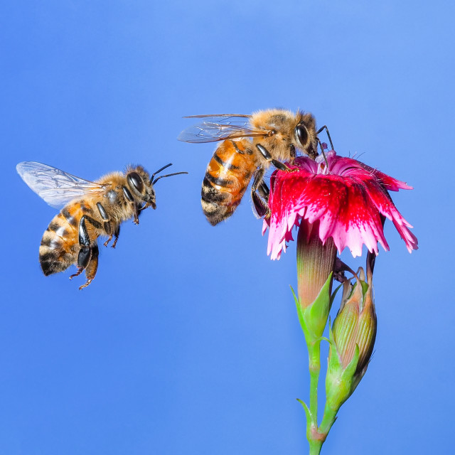 """Honey bee no 1"" stock image"