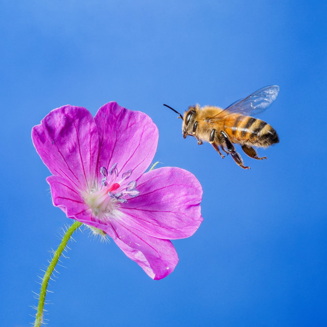 """Honey bee no 3"" stock image"