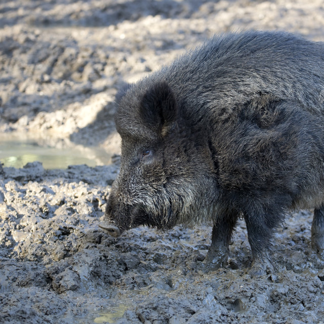 """Wild boar in a clearing"" stock image"