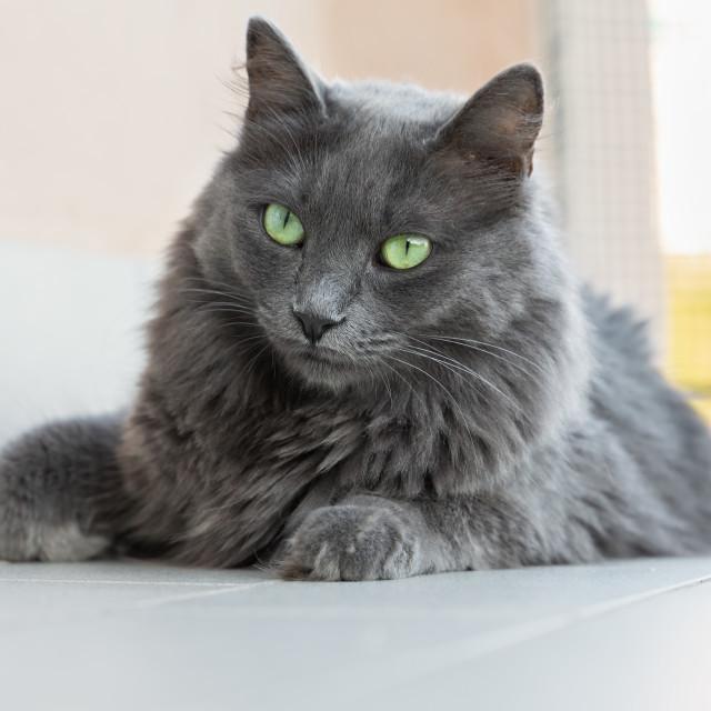 """nebelung breed cat"" stock image"