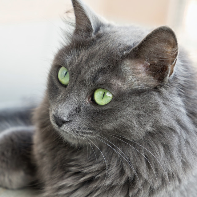 """female nebelung cat"" stock image"
