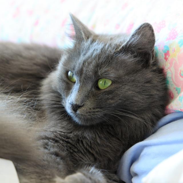 """beautiful nebelung cat"" stock image"