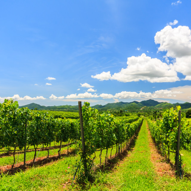 """Vineyard in the hills above Hua HIn"" stock image"