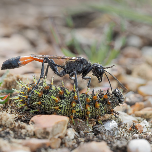 """Red banded sand wasp with paralyzed caterpillar no 2"" stock image"