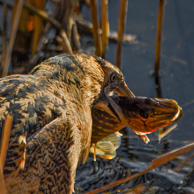 """Great bittern with prey"" stock image"