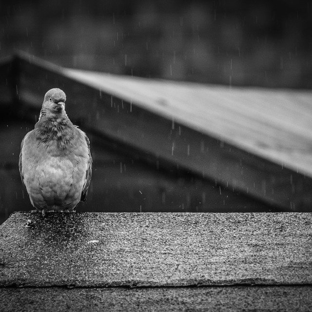 """""""Not Singing In The Rain"""" stock image"""