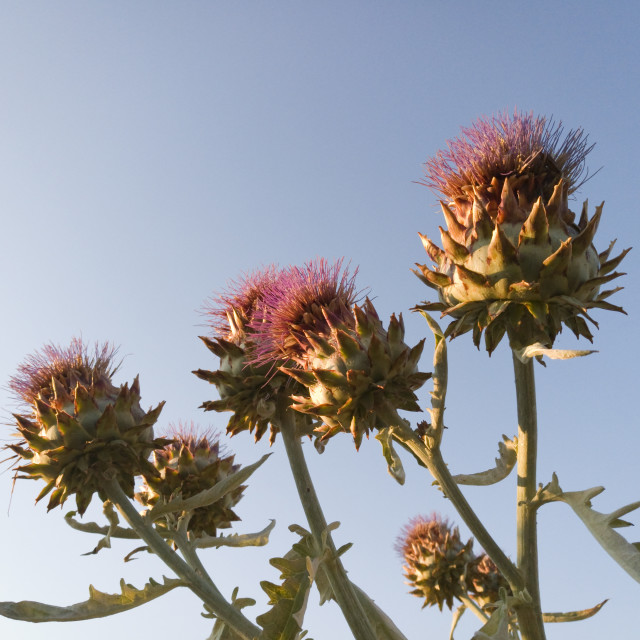 """""""Artichoke Flowers"""" stock image"""
