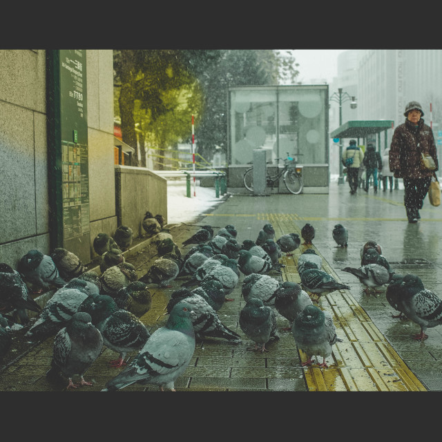 """Pigeons in Sapporo"" stock image"