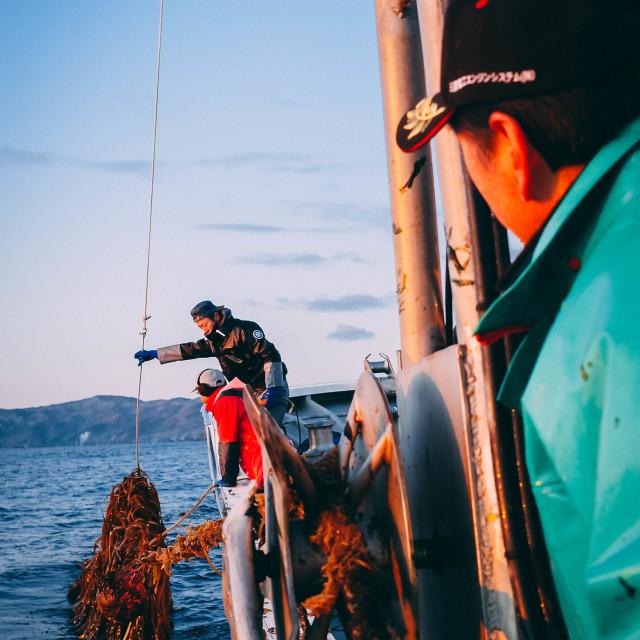 """Seaweed farming, Ishinomaki"" stock image"
