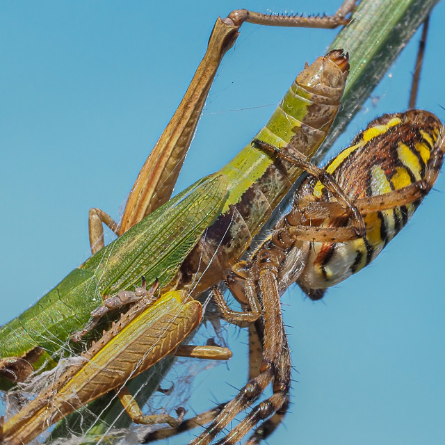 """Wasp spider with grasshopper prey no 3"" stock image"