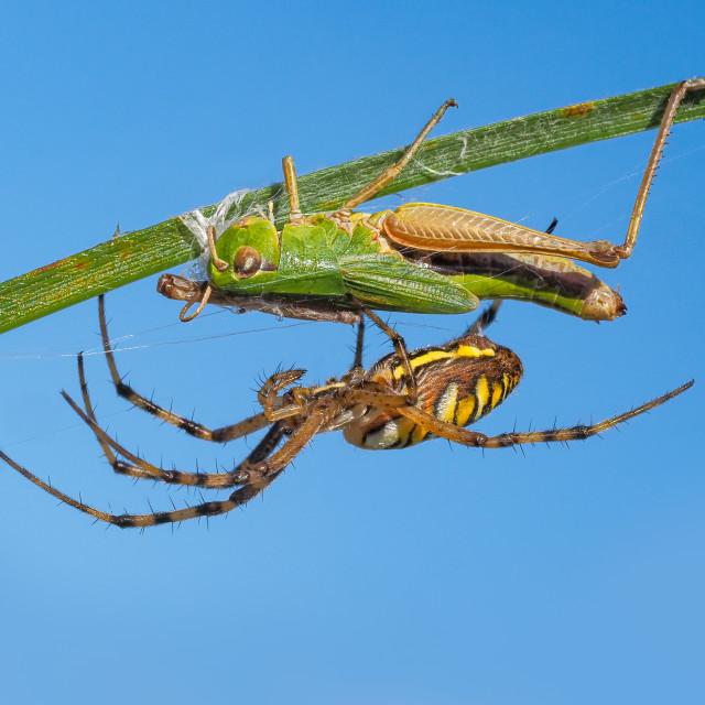 """Wasp spider with grasshopper prey no 4"" stock image"