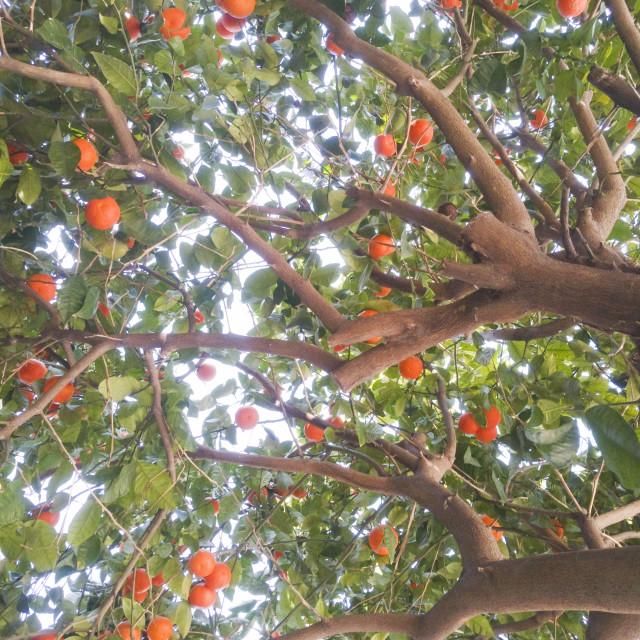 """Bitter Orange Tree"" stock image"