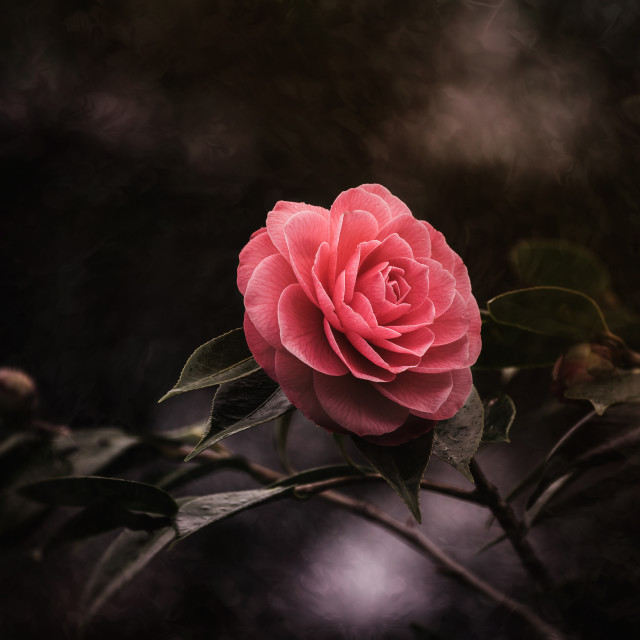 """""""Pink Camellia"""" stock image"""