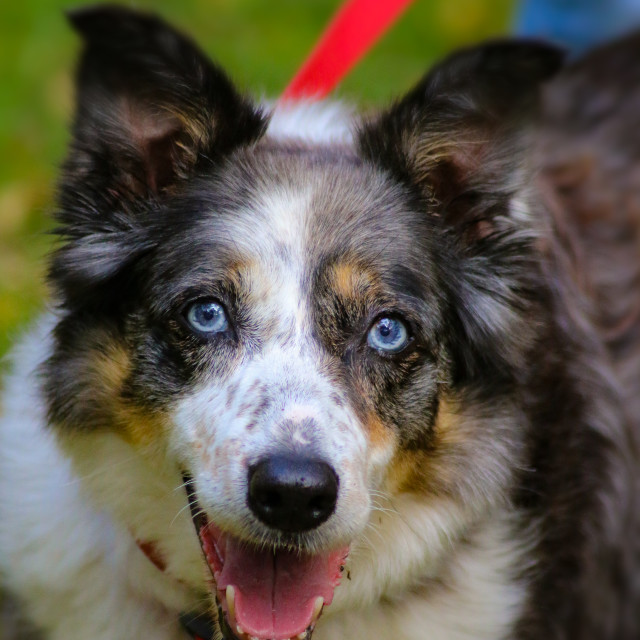 """Merle Border Collie"" stock image"