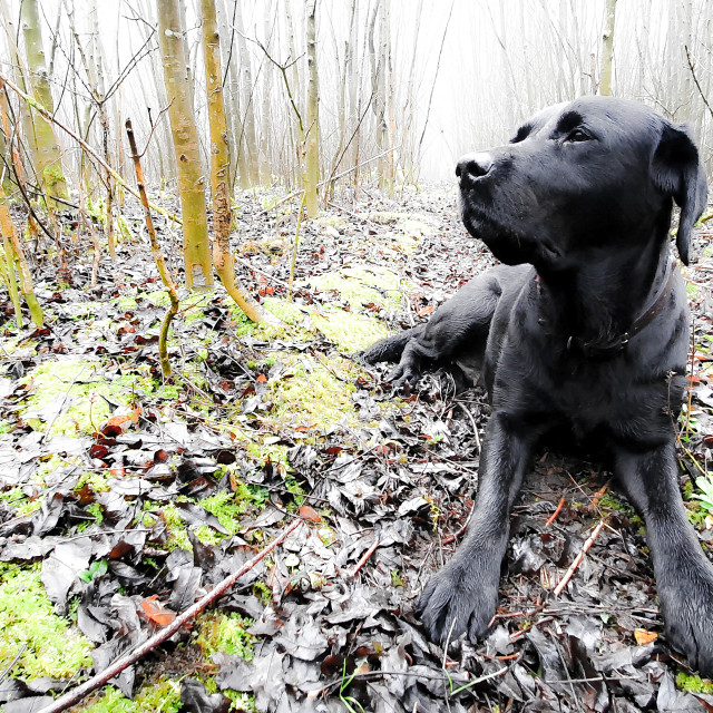 """Black Labrador In The Woods"" stock image"