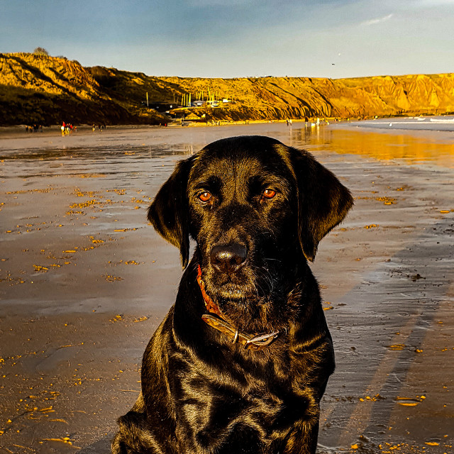 """Black Labrador Sat On The Beach"" stock image"
