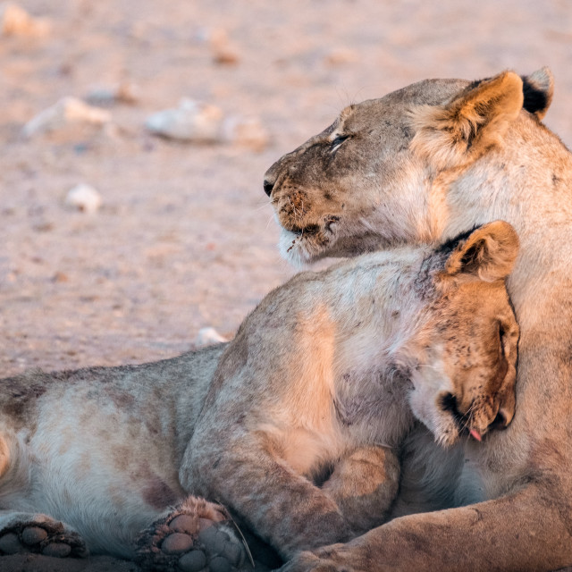 """""""Lioness and her cub"""" stock image"""