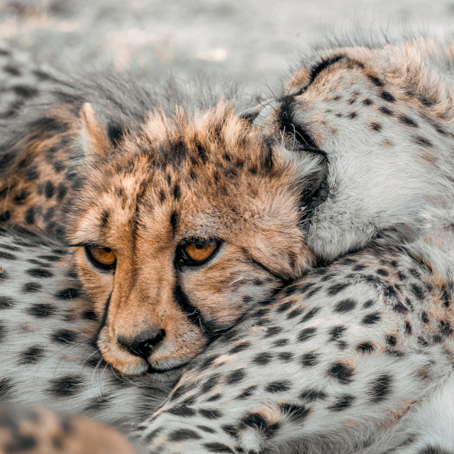 """Cheetahs in Namibia"" stock image"
