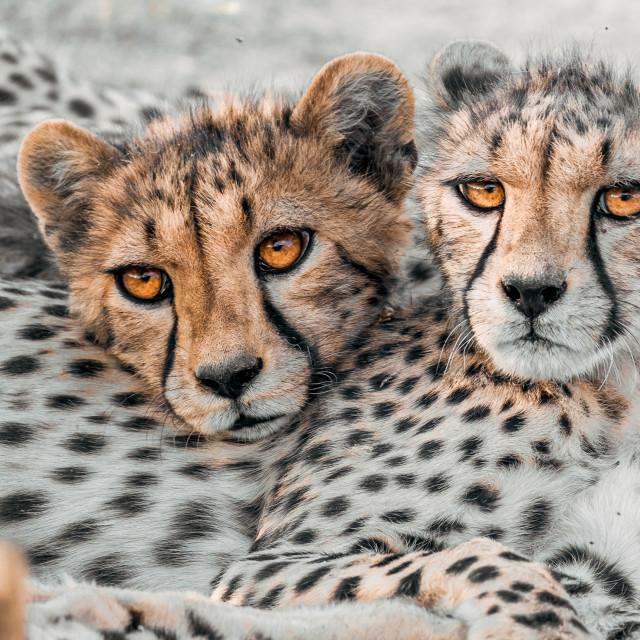 """Cheetahs Portrait"" stock image"