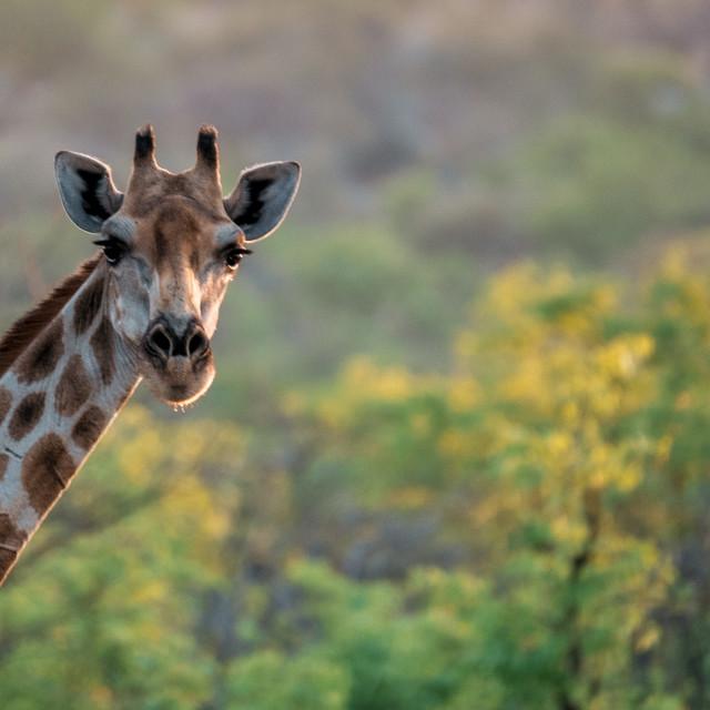 """Namibian Giraffe"" stock image"