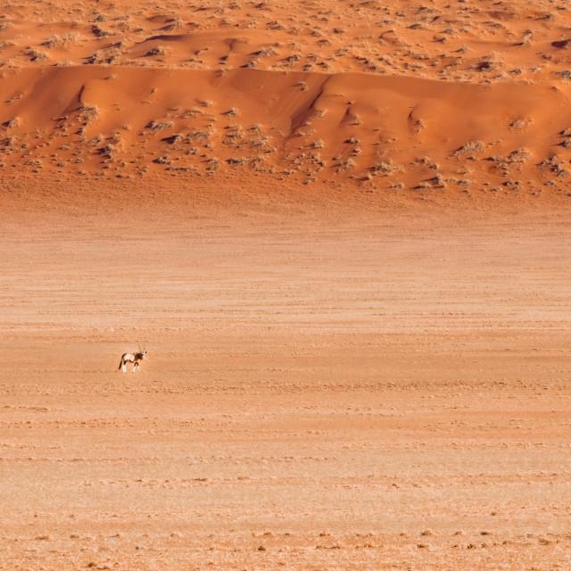 """The Oryx"" stock image"