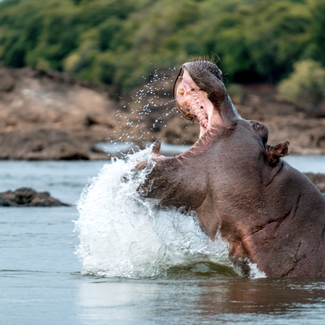 """""""Angry hippo"""" stock image"""