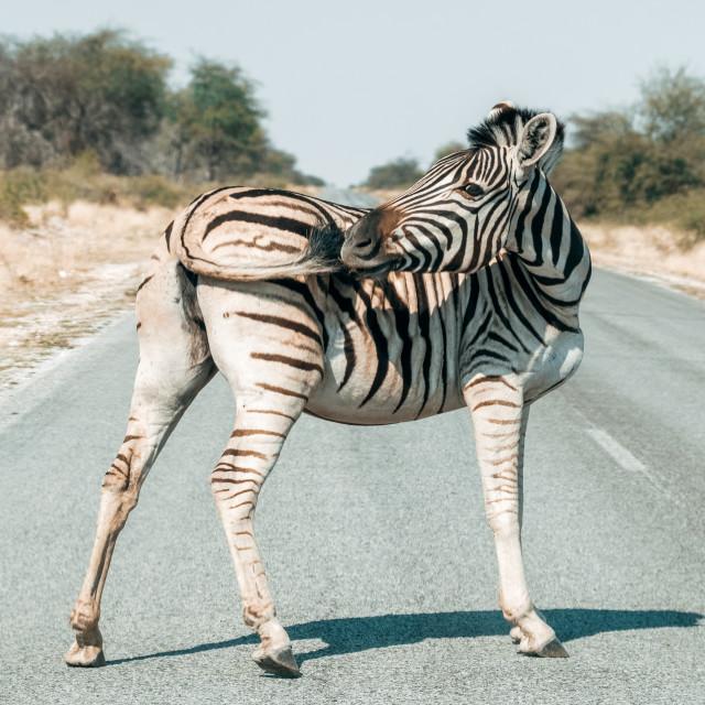 """Hartmann's mountain zebra"" stock image"