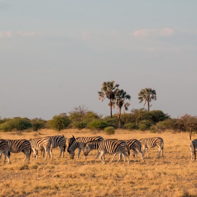 """Zebras near Etosha"" stock image"